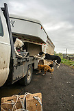 USA, Oregon, Enterprise, cow dogs load onto a truck at the Snyder Ranch for a cattle drive in Northeast Oregon
