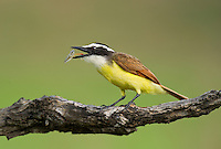 554810210 a wild great kiskadee pitangus sulphuratus perches on a dead mesquite tree limb feeding on a water bug on laguna seca ranch near edinburg texas united states