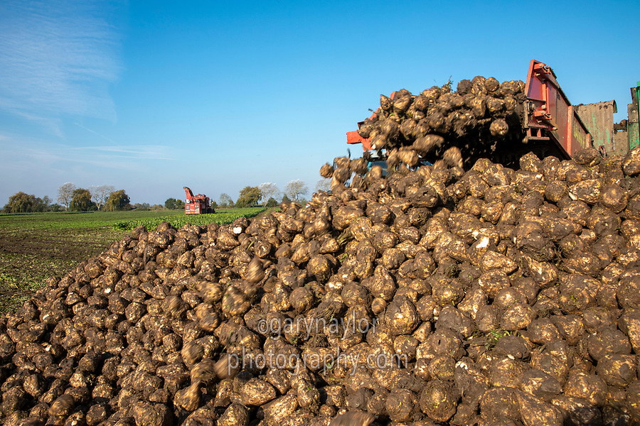 Lifting sugar beet - Lincolnshire, October