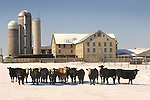 Cattle lined up in front of barn, Union County