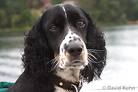 0301-1204  Tri-Colored English Springer Spaniel, Canis lupus familiaris  © David Kuhn/Dwight Kuhn Photography