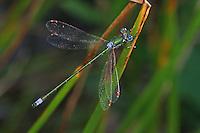 Gemeine Weidenjungfer, Männchen, Chalcolestes viridis, Lestes viridis, Willow Emerald Damselfly, male, Binsenjungfer
