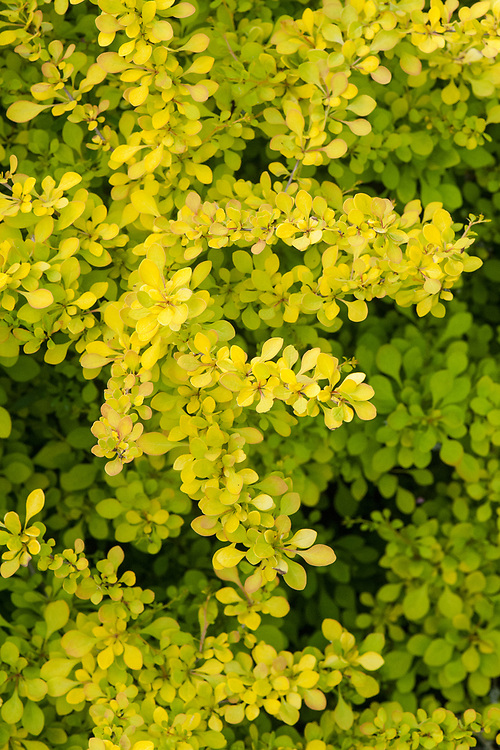 Berberis thunbergii 'Aurea', mid May. Commonly known as Golden Japanese barberry.