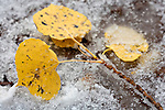Leaves from an aspen tree (Populus tremuloides) are blanketed in snow from an unusual fall snowstorm on Escudilla Mountain.