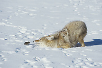 Coyote (Canis latrans), adult playing with vole prey, Yellowstone National Park, Wyoming, USA