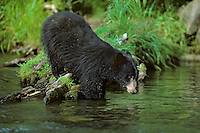Black Bear along stream.  Pacific Northwest.  Summer.