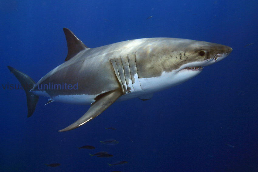 Great White Shark (Carcharodon carcharias), Guadalupe Island, Mexico.
