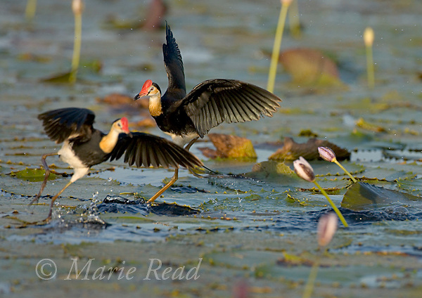 Comb-crested Jacanas (Irediparra gallinacea), adults during territorial fighting, Yellow Water, Kakadu National Park, Northern Territory, Australia