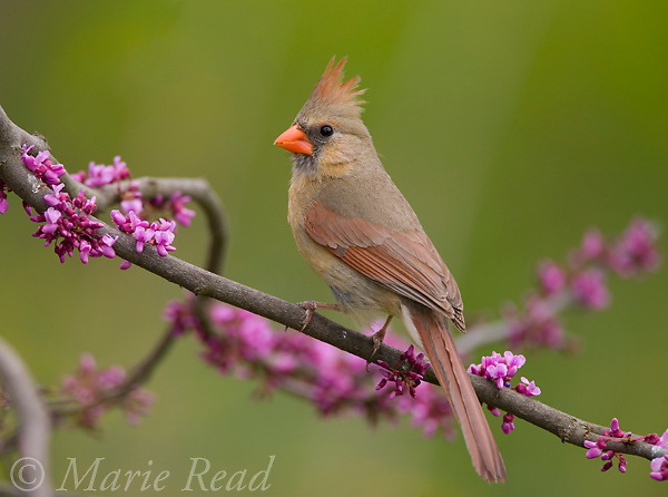 Northern Cardinal (Cardinalis cardinalis) female perched in flowering eastern redbud, New York, USA