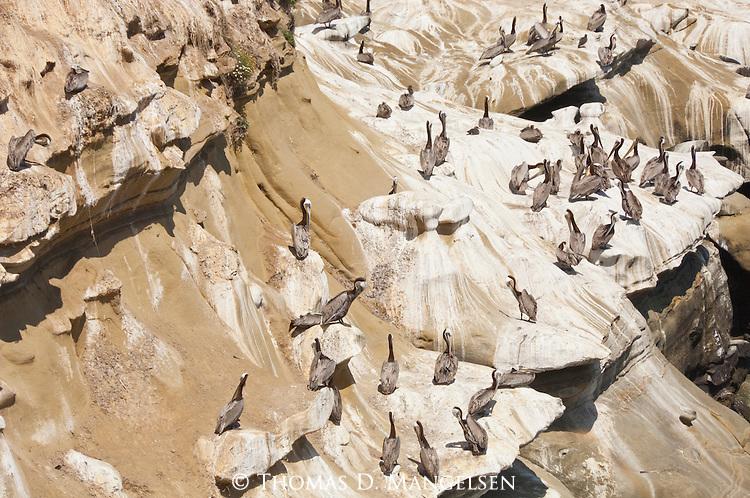 A colony of brown pelicans on the coast of La Jolla, California
