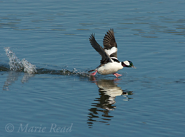 Bufflehead (Bucephala albeola), male taking flight by running across water, Bolsa Chica Ecological Reserve, California, USA