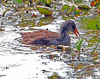 Juvenile common gallinule (moorhen)