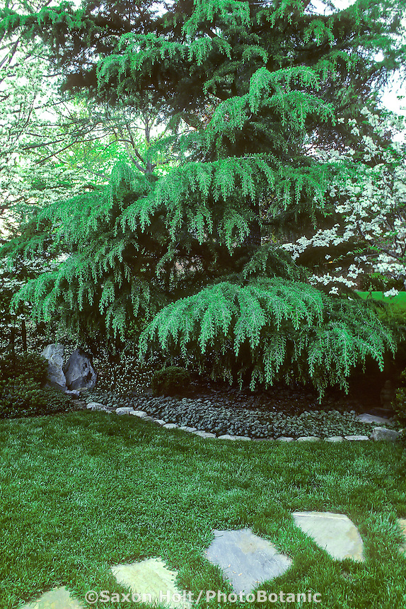 Cedrus deodara (Deodar Cedar) tree in backyard garden