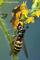 AM02-538z  Ambush Bug female, feeding on Sandhills Hornet prey with long sharp beak,  Phymata americana