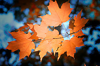 Orange Fall Maple Leaves