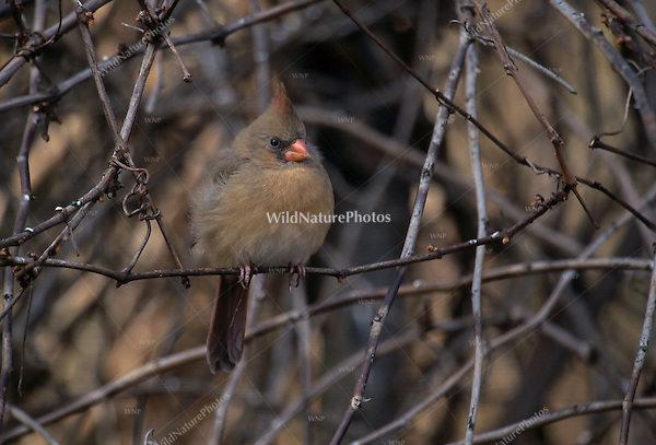 Northern Cardinal, Cardinalis cardinalis, female perched in vines