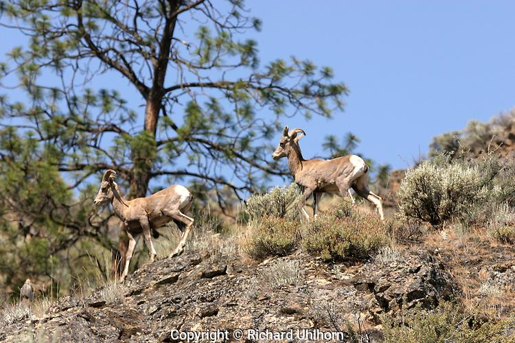 Bighorn Sheep (Ovis canadensis