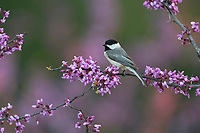 Carolina Chickadee (Poecile carolinensis), adult perched on blooming Eastern Redbud (Cercis canadensis), Hill Country, Central Texas, USA