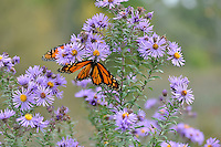 Fall colours at Perch Creek Nature Habitat and at the Blackwell landfill site. Monarch butterfly
