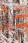First snow in autumn, red maple leaves, Ithaca, New York, USA