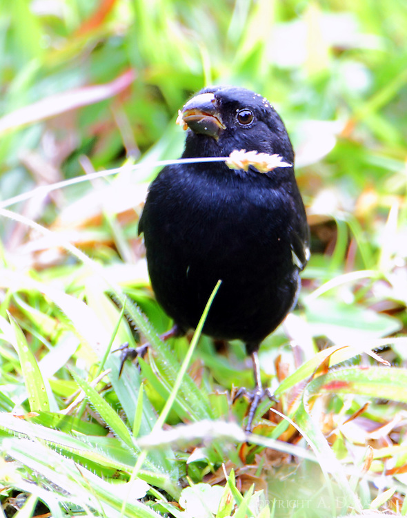 Male variable seedeater