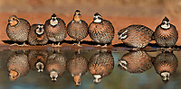 509250093p a panoramic view of wild northern bobwhites colinus virginianus drink at a small pond on beto gutierrez santa clara ranch hidalgo county lower rio grande valley texas united states