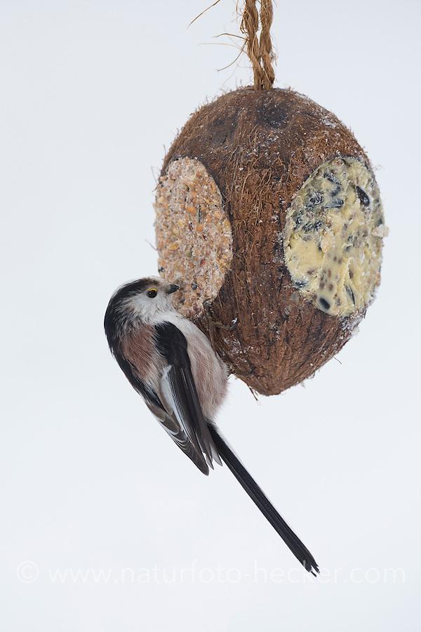 Schwanzmeise, selbstgemachtes Vogelfutter in einer Kokosnuss, Kokosnuß, Vogelfütterung, Fütterung, Fettfuttermischung, Fettfutter, Winterfütterung, Winter, Schnee, Schwanz-Meise, Meise, Meisen, Aegithalos caudatus, Long-tailed tit, bird's feeding, snow, La Mésange à longue queue