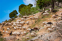 Spanien, Andalusien, Ziegenherde | Spain, Andalusia, flock of goats