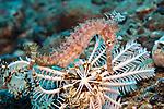 Hippocampus hystrix, Thorny seahorse, Ambon, Indonesia
