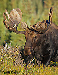 Bull moose in velvet. Roosevelt National Forest, Colorado.