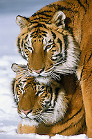 Siberian Tigers (Panthera tigris), Endangered Species.