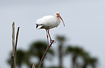 White Ibis.Eudocimus albus.at Viera Wetlands Viera Florida, December 25, 2007. Fitzroy Barrett