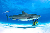 tiger shark, Galeocerdo cuvier, with scuba diver photographer behind, Bahamas, Caribbean, Atlantic