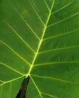 Taro leaf is a food staple on Maui in Hawaii