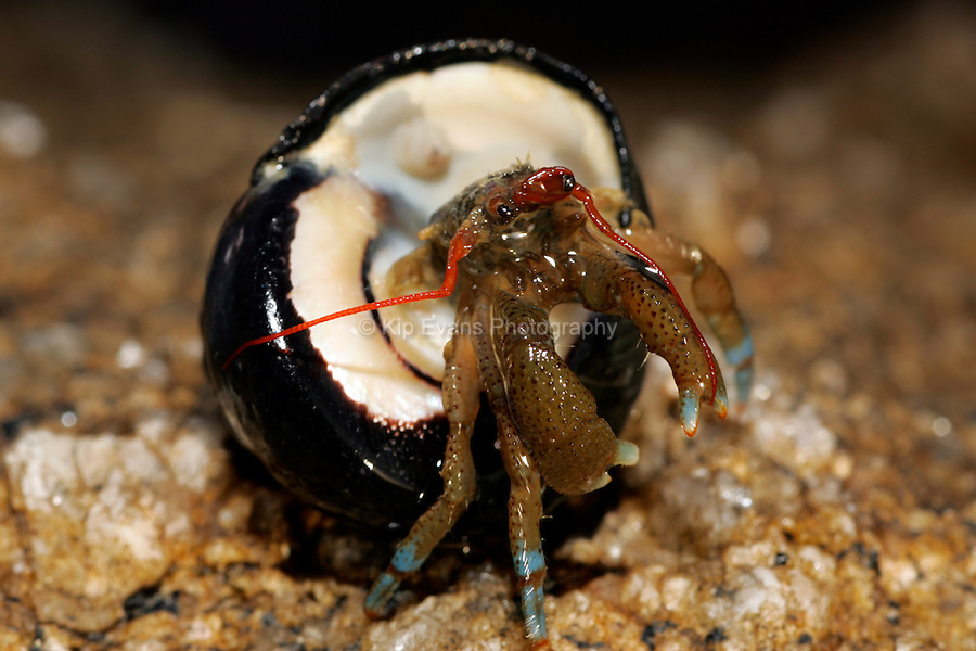 Hermit Crab, California Coast