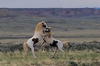 Wild Horses, McCullough Peaks Range, Cody, Wyoming
