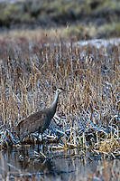 Sandhill Crane in wetland on frosty morning.  Western U.S., March.