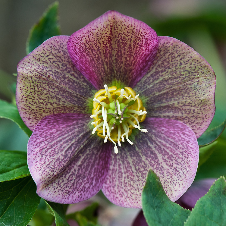 hellebore or Lenten rose (Helleborus orientalis 'Blue Lady'), late March.