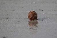 Seeball, Seebälle, Meerball, Meerbälle im Angespül, Spülsaum an Mittelmeer-Küste, runde, faserig-filzige Gebilde, die sich sich aus dem durch die Wasserbewegung herausgerissenen Rhizomgeflecht von Seegras bilden, dessen Fasern auf dem Sandboden durch Wellen und Strömungen hin und her bewegt werden und so kugelig miteinander verfilzen, aus den abgestorbenen Pflanzenteilen des Neptungrases, Neptungras, Seegras, Posidonia oceanica, seagrass, Sea ball, Sea balls, Sea-ball, Sea-balls, Seaball, Seaballs