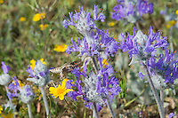 White-lined Sphinx (Hyles lineata) moth, commonly known as the hummingbird moth, nectaring on Thistle Sage (Salvia carduacea) in early spring, Southern California.