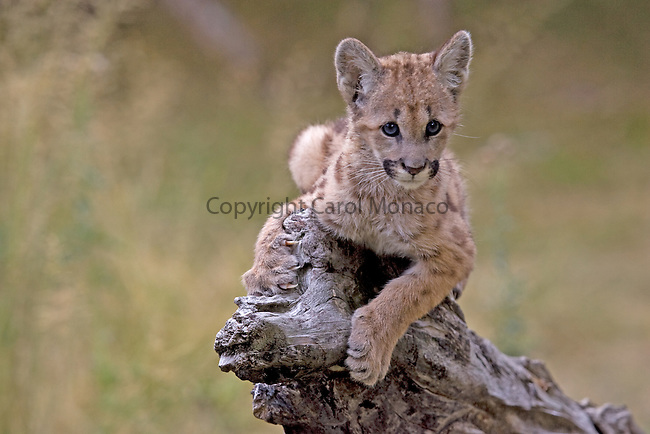 A cute young mountain lion cub sitting on the end of a tree log, clutching onto the log, United States