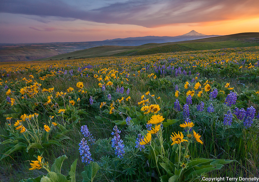Columbia Hills State Park, Washington:<br /> Evening light on Lupine and balsam root blooming on a hillside in the Columbia Hills above the Columbia River - Mount Hood in the distance