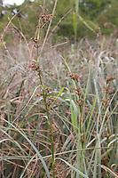 Binsen-Schneide, Binsenschneide, Binsen - Schneide, Cladium mariscus, Elk Sedge, Fen Sedge, Cladium marisque