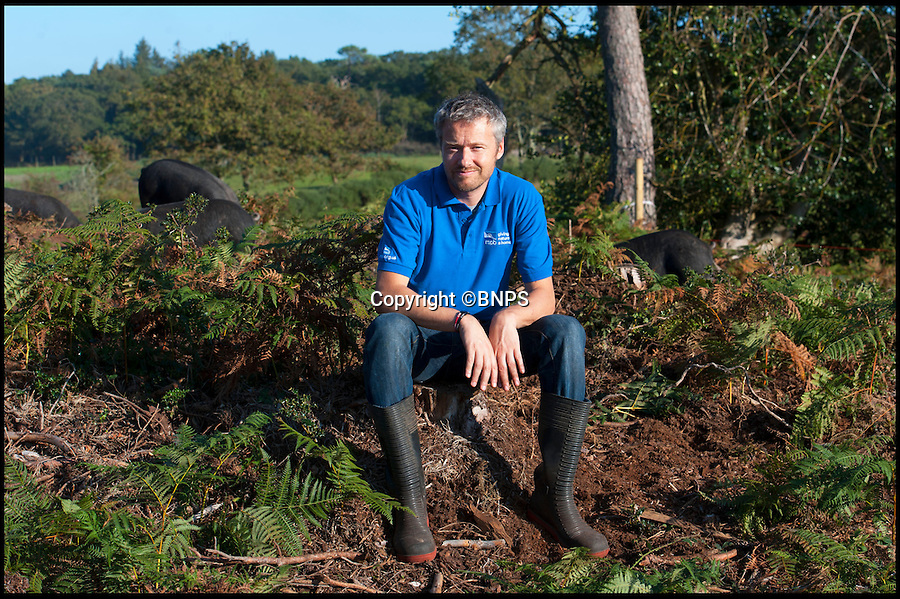 BNPS.co.uk (01202 558833)<br /> Pic: PhilYeomans/BNPS<br /> <br /> RSPB warden Mark Singleton....<br /> <br /> The RSPB has called in a crack-ling team of rare breed pigs to return woodland in Dorset to native heath - And the bonus is you can much on the unfortunate animals after they're work is done.<br /> <br /> RSPB project leader Mark Singleton has brought in an army of rugged Mangalitsa pigs to completely root through a pine forest scrub in south Dorset, and return it to the native heathland made famous by Thomas Hardy.<br /> <br /> Local butcher Jamie Warren owns the hardy Mangolista's, and after they've munched through the bracken, roots and rhizomes he can sell the tasty meat once they're work is done.<br /> <br /> The RSPB are trying to protect and enhance the precious heathland to protect the rare birdlife that inhabits the area.