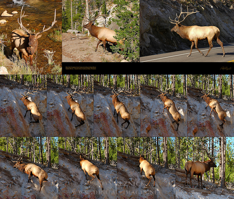 Bull Elk Climbing Steep Slope over Grand Loop Road, Gibbon River, Yellowstone National Park, Wyoming