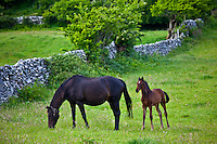 Irish mare horse and foal, County Galway, Ireland