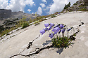 Fairy's Thimble {Campanula cochleariifolia} growing in a crack running through a limestone slab. Triglav National Park, Julian Alps, 2000m, Slovenia. July.