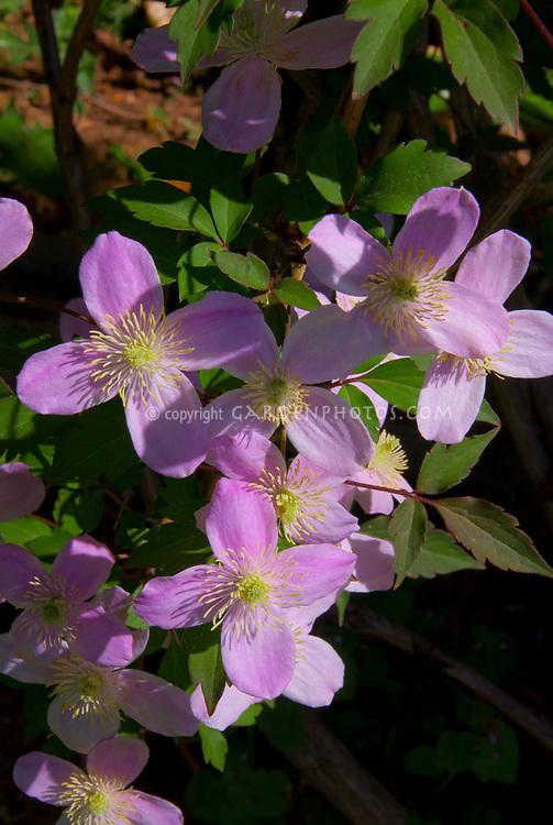 Clematis montana var rubra Tetrarose, perennial flowering vine, pink flowers in spring