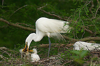 Great or Common Egret's nest--adult feeding youg crayfish or crawfish.  Southern U.S., May.