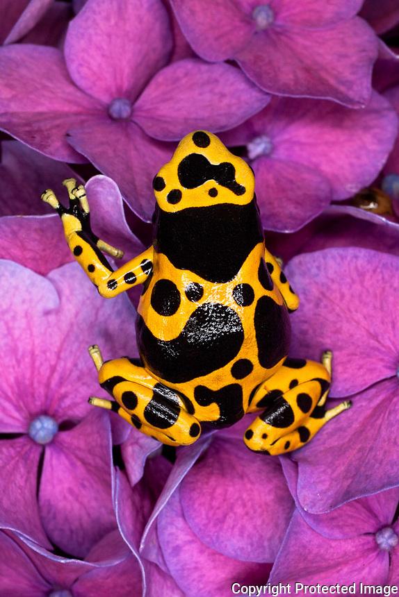 Bumble Bee Dart Frog, D. leucomelas